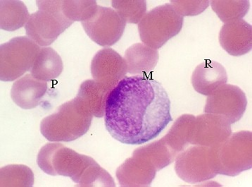 monocyte is not like a mast cell