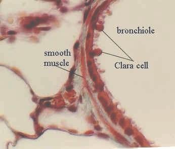 Clara Cell Histology
