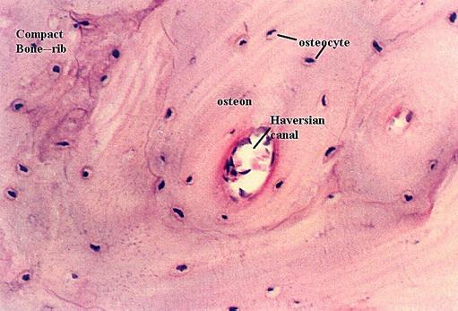 COMPACT BONE HISTOLOGY   Microanatomy Web Atlas   Gwen V. Childs, Ph.D.