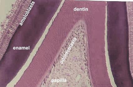 Developing tooth | Microanatomy Web Atlas | Gwen V. Childs ...