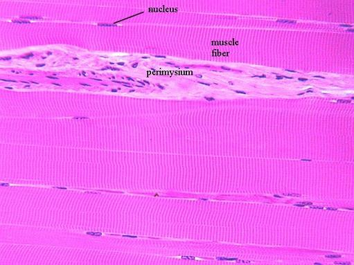 Striated  Skeletal Muscle