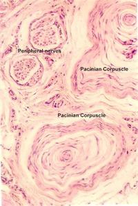 tibia fibula bone diagram lamellar bone diagram #15