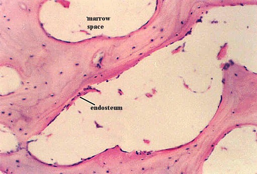 Spongy Bone Histology Microanatomy Web Atlas Gwen V Childs Ph D