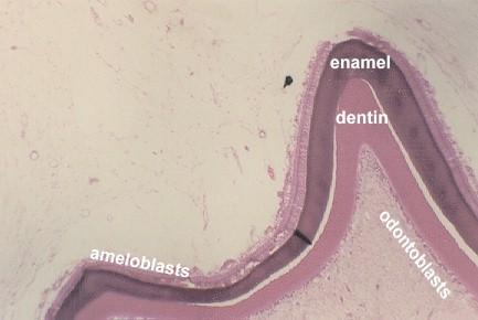 play-o-logy: Microanatomy